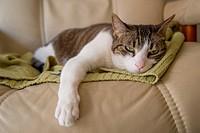 Sleepy cat lying on an armchair.