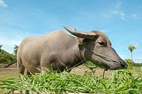 Water buffalo or domestic Asian water buffalo Bubalus bubalis eating grass, Loei province, Thailand.