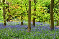 Bluebells and Spring Foliage in Middleton Woods Ilkley West Yorkshire England.