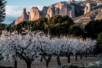 Almond tree flowering with Rock formation at Riglos mountain range background. Huesca, Aragon, Spain.
