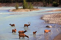 Canada, Alberta, Jasper National Park, Athabasca River, elk, cervus canadensis,.