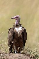 Hooded vulture (Necrosyrtes monachus) sitting on ground, Masai Mara, Kenya.
