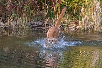 Adult mountain lion (Puma concolor) jumping in a pond, captive, Montana, USA