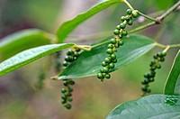 pepper, Black Pepper, Piper nigrum, Kumily, Kerala state, South India, Asia.