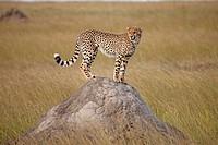 Cheetah on hill. Maasai Mara National Reserve, Kenya