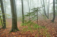Landscape of a foggy forest with a young Norway spruce (Picea abies) between European beech (Fagus sylvatica) in autumn.