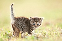 Five week old domestic cat (Felis silvestris catus) kitten on a meadow in late summer.
