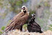 Cinereous vultures (Aegypius monachus). Serra de Tramuntana, Mallorca, Balearic Islands, Spain.