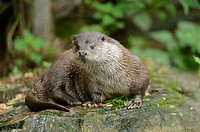 Close-up of a european otter (Lutra lutra) on a stone.