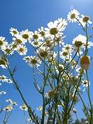 Matricaria chamomilla.