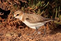 Kentish plover (Charadrius alexandrinus). S´Albufera de Mallorca, Mallorca, Balearic Islands, Spain.
