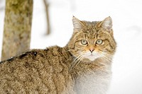 Wild cat (Felis sylvestris), portrait in the snow, looking at camera , controlled situationa, Bavarian Forest, Germany.