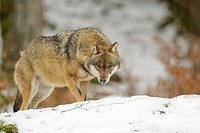 Adult Eurasian wolf (Canis lupus lupus) standing in the snow and looking at camera, controlled situation, Bayerische wald, Germany.