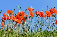 Poppies(Papaver rhoeas)Extremadura.Spain