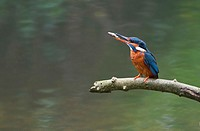 Female Kingfisher- Alcedo atthis with food. Spring. Uk.