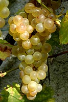 Bunch of yellow grape ´Chasselas Danuta´.