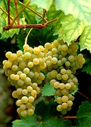 Bunch of yellow grape ´Ampelia Perdin´ .