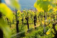 Vineyard, Erbusco, Franciacorta wine area, Brescia province, Italy