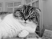 Scottish Fold, Cat