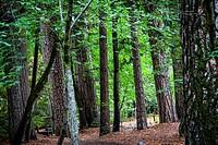 View through the trees, Yosemite Valley, California.
