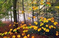 Beech Fagus sylvatica Felbrigg Great Wood Norfolk UK Early November.