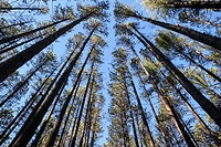 The regularly-spaced trees of the Red Pine Plantation, established in the 1930s, Mohawk Trail State Forest, Massachusetts, United States, North Americ...