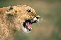 African Lion, panthera leo, Cub Snarling.