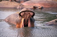 Hippopotamus, hippopotamus amphibius, Adult standing in Lake, Opening Mouth, Virunga Park in Congo.