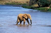 African Elephant, loxodonta africana, Adult crossing River, Samburu park in Kenya.