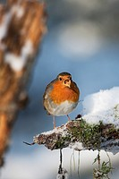 European Robin, erithacus rubecula, Adult standing on Snow, Normandy.