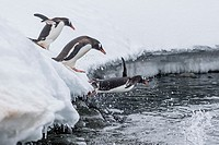 Gentoo penguins, Pygoscelis papua, leaping into the sea at Booth Island, Antarctica.