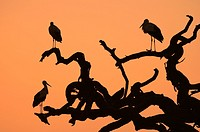 White storks (Ciconia ciconia) on a dead acacia tree before sunrise in the tree savannah of Serengeti National Park. Tanzania