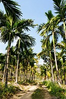 Hainan, China - The view of the Areca Forest in the Daytime.