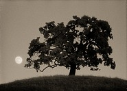 Oak tree on hill with rising full moon, Diablo Foothills Regional Park, Contra Costa County, CA, USA, shot on Kodak infrared film.