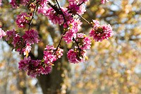 blossoming crabapple tree with out-of-focus tree and new spring foliage in background, Bloomington, Indiana.