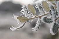 Winter ice, leaves, Miranda de Azan, Salamanca, Castilla y Leon, Spain.