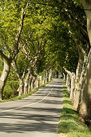 EU, France, Bram. Plane trees lining highway D4 approaching the town of Bram in the south of France.