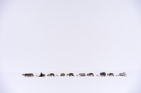Nenets herder driving a train of Reindeer (Rangifer tarandus) sleds on his spring migration in the tundra, Yar-Sale district, Yamal, Northwest Siberia...