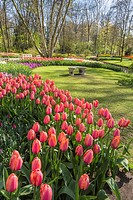 Beautiful blooming flowers in the famous Keukenhof (Keukenhof Gardens), The Netherlands, Europe
