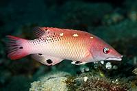 Diana´s Hogfish, also known as Diana´s Pigfish, Bodianus diana. Tulamben, Bali, Indonesia. Bali Sea, Indian Ocean.