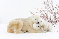 Polar bear mother (Ursus maritimus) lying down on tundra, with two new born cubs playing, Wapusk National Park, Manitoba, Canada.