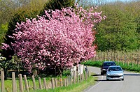 Traffic at a red blossom tree in Kivik, Scania, Sweden.