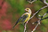 Sweden, Stockholm, European Greenfinch (Carduelis chloris) perching on branch