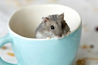 Dwarf Russian Hamster in a teacup.