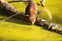 American mink (Neovison vison). Arroyo de Meaques, Madrid province, Spain