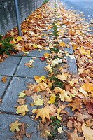 maple leaves on the ground.