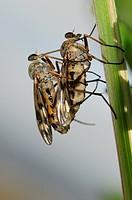 Horse-flies mating.