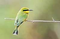 Little Bee-Eater (Merops pusillus) perching on twig, Kruger National Park, South Africa.