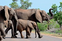 African bush elephants (Loxodonta africana), two adult females with two young, crossing a tarred road, Kruger National Park, South Africa, Africa.