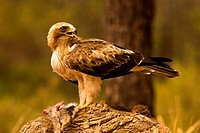 Booted eagle or (booted eagle). Photographed in Cuenca.
